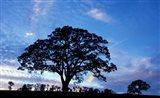 Oak Trees at Sunset on Twin Oaks Farm, Connecticut