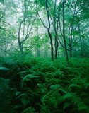 Forest Ferns in Misty Morning, Church Farm, Connecticut