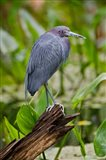 Little Blue Heron, Corkscrew Swamp Sanctuary, Florida
