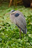 Great Blue Heron bird Corkscrew Swamp  Florida
