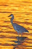 Great Blue Heron in Golden Water at Sunset