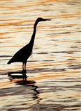 Silhouette of Great Blue Heron in Water at Sunset
