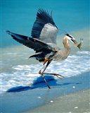 Florida Captiva Island Great Blue Heron bird