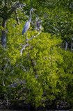 Florida Great Blue Heron, bird, Rookery Bay