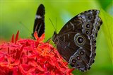 Blue Morpho Butterfly On A Flower