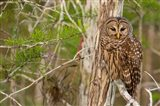 Barred Owl In Everglades National Park, Florida