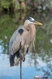 Florida Orlando Great Blue Heron at Gatorland