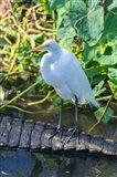 Egret On An Alligator'a Tail