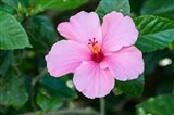 Single Pink Hibiscus
