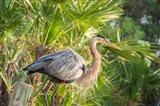 Great Blue Heron at Gatorland