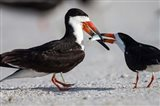 Black Skimmer Fighting Over A Minnow