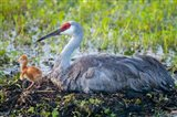 Sandhill Crane On Nest With First Colt