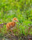 Sandhill Crane Colt Out Foraging, Florida