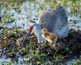 Sandhill Crane Waiting On Second Egg To Hatch, Florida