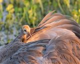 Sandhill Crane On Nest With Baby On Back, Florida