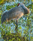 Sandhill Crane Resting, Grus Canadensis, Florida
