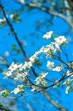 Flowering Dogwood, Savannah, Georgia