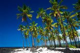 Coconut Palms At Pu'uhonua O Honaunau National Historic Park, Hawaii