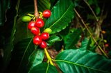 Red Kona Coffee Cherries On The Vine, Hawaii