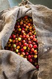 Harvested Coffee Cherries In A Burlap Sack, Hawaii