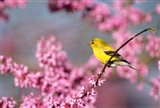 American Goldfinch In Eastern Redbud, Marion, IL