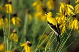American Goldfinch On Gray-Headed Coneflowers, Marion, IL