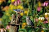 Eastern Bluebird Feeding Fledgling On Fence