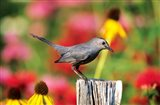 Gray Catbird On A Fence Post, Marion, IL