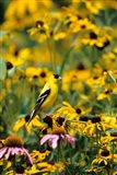 American Goldfinch On Black-Eyed Susans, Illinois