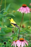 American Goldfinch On Purple Coneflower, Illinois