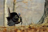 Eastern Wild Turkey Strutting, Illinois
