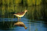 Greater Yellowlegs In Wetland, Illinois