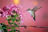 Ruby-Throated Hummingbird Near Garden Phlox