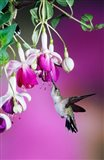 Ruby-Throated Hummingbird Near Hybrid Fuchsia