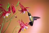 Ruby-Throated Hummingbird On Crimson Star Columbine
