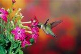 Ruby-Throated Hummingbird At Hummingbird Rose Pink Nicotiana