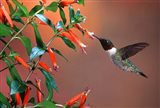 Ruby-Throated Hummingbird At Cigar Plant
