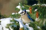 Blue Jay In Winter Spruce Tree
