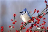 Blue Jay In Icy Green Hawthorn Tree
