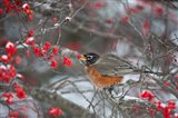 American Robin Eating Berry In Common Winterberry Bush