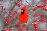Northern Cardinal In Common Winterberry Bush