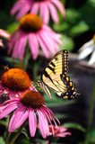 Eastern Tiger Swallowtail On A Purple Coneflower
