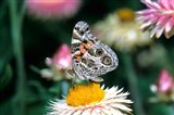 American Lady Butterfly On An Outback Paper Daisy