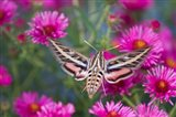 White-Lined Sphinx Moth On An Alma Potschke Aster