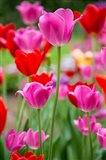 Pink And Red Tulips, Cantigny Park, Wheaton, Illinois