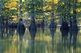 Bald Cypress Trees At Horseshoe Lake State Park, Illinois