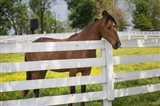 Horse At Fence, Kentucky