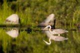 Great Blue Heron Feeds in Katahdin Lake, Maine,