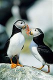 Atlantic Puffins, Machias Seal Island, Maine