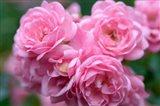 Pink Landscape Roses, Jackson, New Hampshire